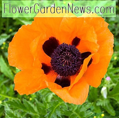 Papaver orientale 'Prince of Orange' (Orientalische Mohnblume)
