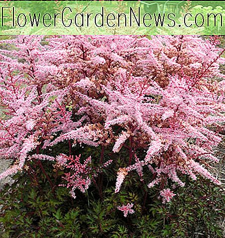 Astilbe 'Delfter Spitze'