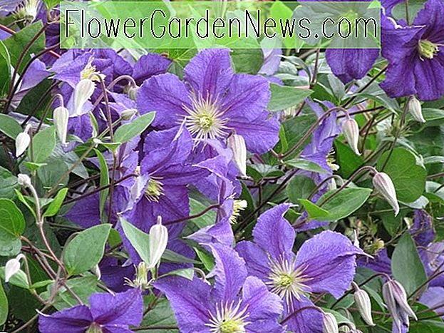 Clematis 'Wisley' (Viticella Group)
