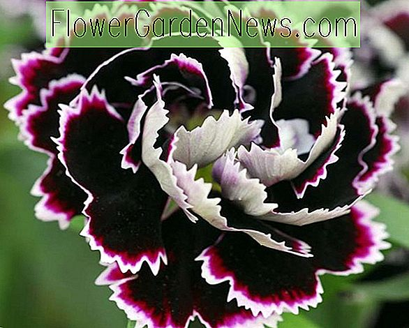 Dianthus chinensis heddewigii 'Black And White Minstrels' (Pink)