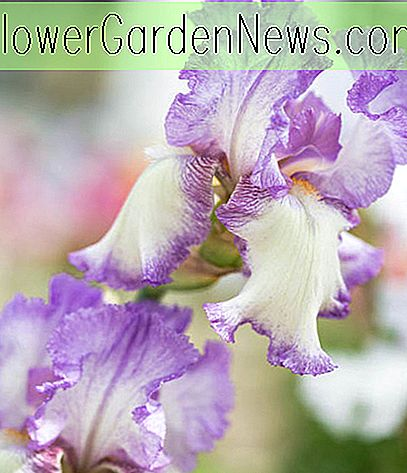 Iris 'Autumn Tryst' (Reblooming Bearded Iris)