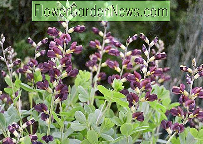 Baptisia 'Dutch Chocolate' (False Indigo)
