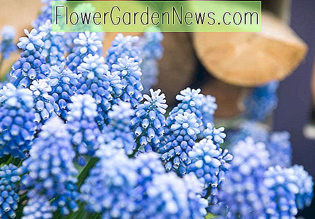 Muscari aucheri 'Blue Magic' (Traubenhyazinthe)