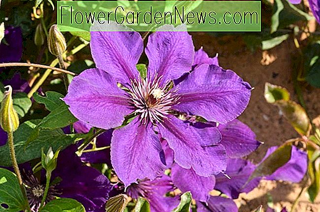 Clematis 'Gipsy Queen' (Late Large-Flowered Clematis)