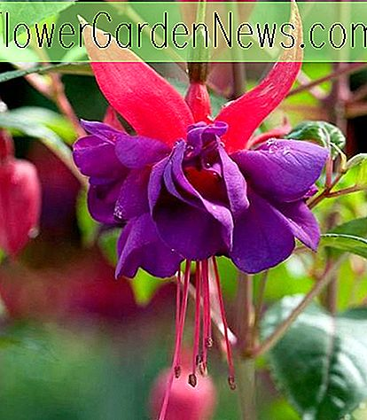 Fuchsie 'Wicked Queen' (Hardy Fuchsia)