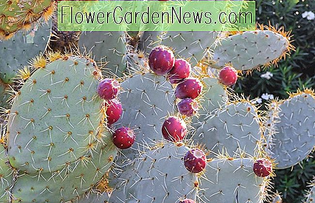 Opuntia Robusta (Silver Dollar Prickly Pear)