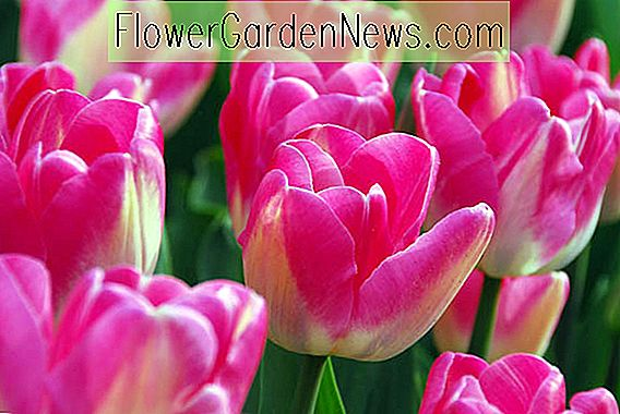 Tulipa 'Dreamland' (Single Late Tulip)