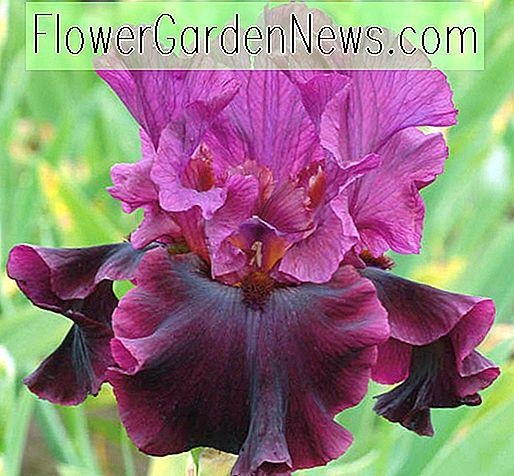Iris 'Silken Trim' (Bearded Iris)