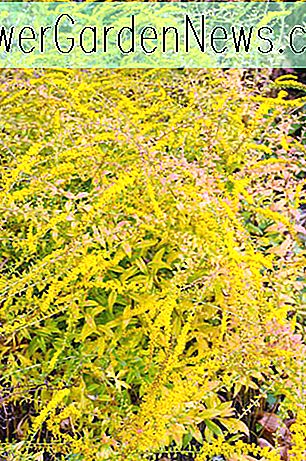 Solidago rugosa 'Fireworks' (verge d'or rugueuse)
