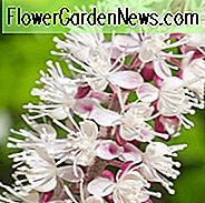 Actaea Simplex Pink Spike, Baneberry