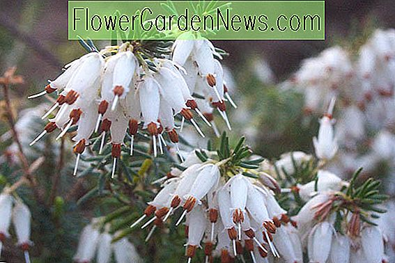 Erica Carnea 'Springwood White' (Winter Heath)