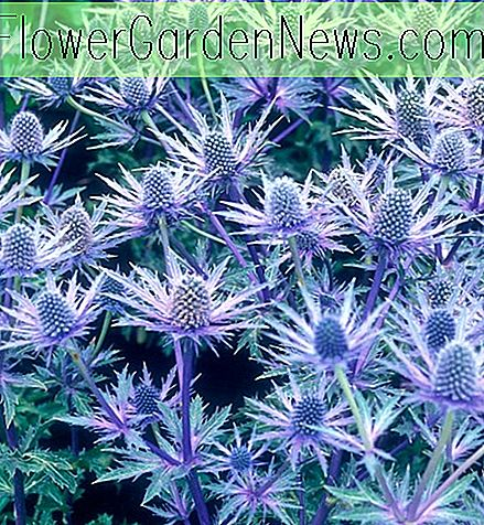 Eryngium x zabelii 'Jos Eijking' (Sea Holly)