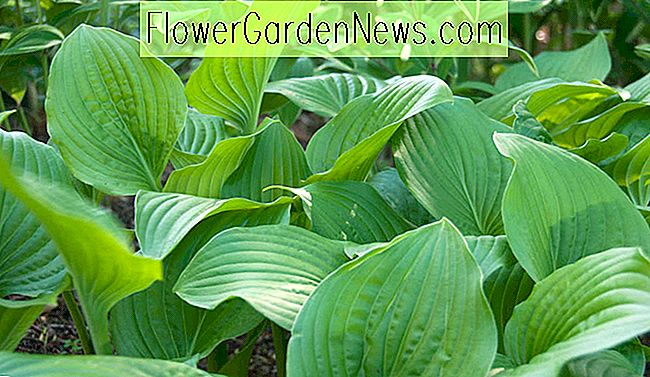 Hosta 'Royal Standard' (Plantain Lily)
