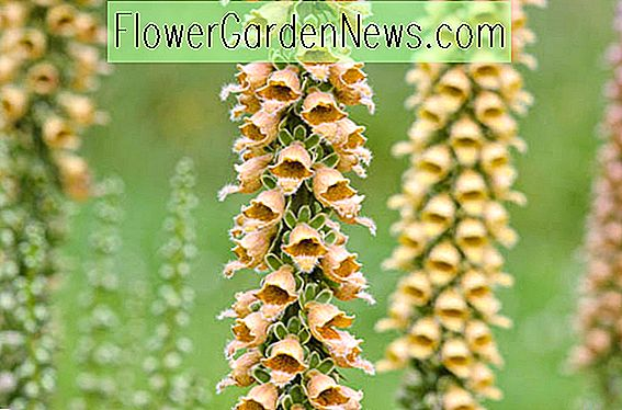 Digitalis ferruginea (Rusty Fingerhut)