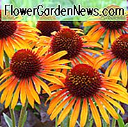 Echinacea 'Flame Thrower', Sonnenhut 'Flame Thrower', Sonnenhut, Orange coneflowers, Orange Echinacea, Sonnenhut, Yellow coneflowers, Yellow Echinacea, Sonnenhut, Coneflowers