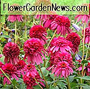 Echinacea 'Secret Affair', Sonnenhut 'Secret Affair', Sonnenhut, Pink coneflowers, Pink Echinacea, Doppelconeflower, Doppelconeflowers, Double Echinacea, Sonnenhut, Coneflowers