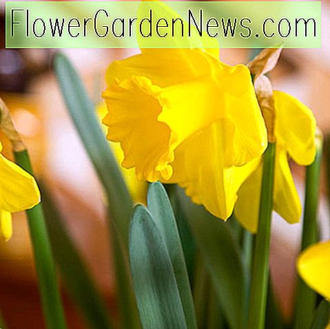 Narcissus 'Standard Value' (Trumpet Daffodil)