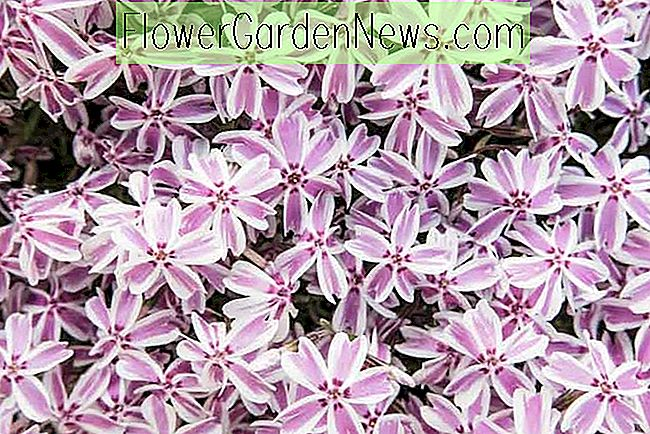 Phlox subulata 'Candy Stripe' (Creeping Phlox)
