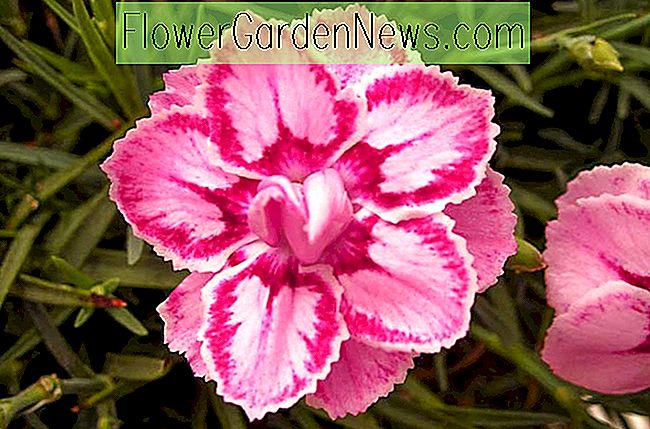 Dianthus 'Starbust' (Pink)