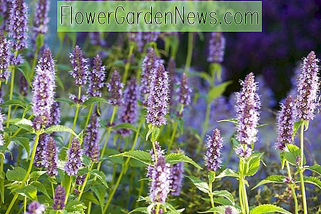 Agastache 'Black Adder' (Giant Hyssop)