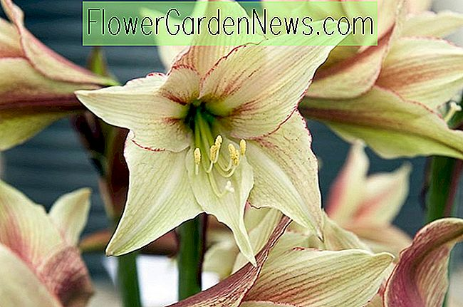Amaryllis 'Magic Green' (Hippeastrum)
