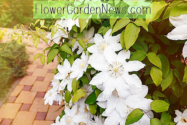 Great Clematis for Lower South Region