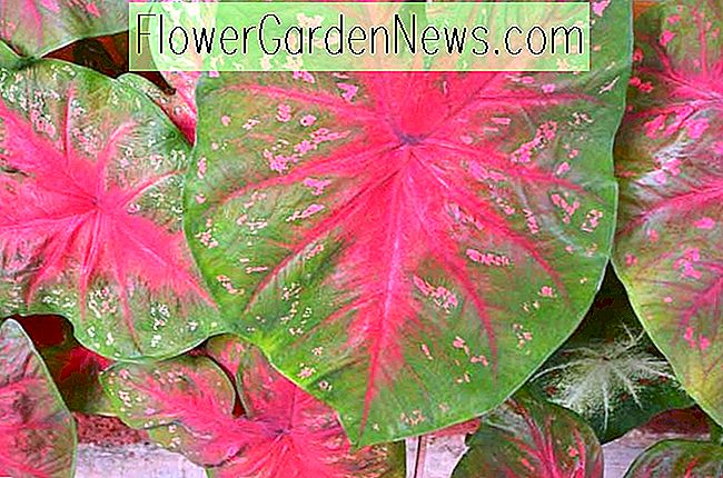 Caladium 'Red Flash' (Engelsflügel)