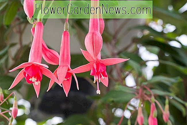 Fuchsia 'Billy Green'