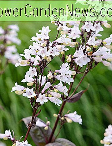 Penstemon digitalis 'Husker Red (Beardtongue)