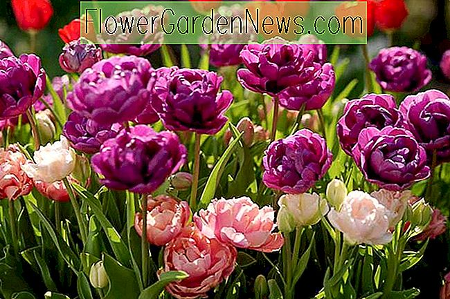 Tulipa 'Purple Jacket', Tulip 'Purple Jacket', Double Late Tulip 'Purple Jacket', Double Late Tulips, Spring Bulbs, Spring Flowers, Tulipe Purple Jacket, Purple Tulips, Late spring tulips, Tulips Doubles Tardives