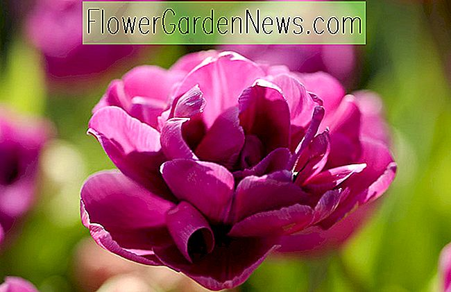Tulipa 'Purple Jacket' (Double Late Tulip)