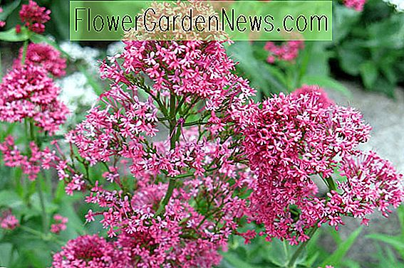 Centranthus ruber (Roter Baldrian)