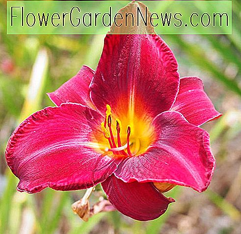Hemerocallis Red Freiwilliger, Daylily Red Freiwilliger, Tag Lily Red Volunteer, roter Freiwilliger Daylily, Midseason Daylily, rote Daylilies, rote Daylily, Tageslilien, rote Blumen, roter Hemerocallis