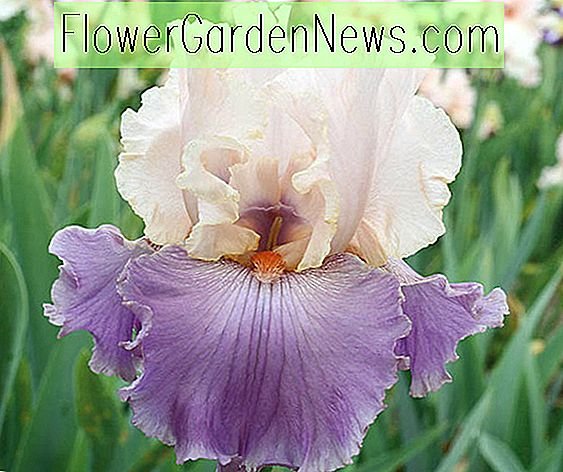 Iris 'Absolute Crush' (Bearded Iris)