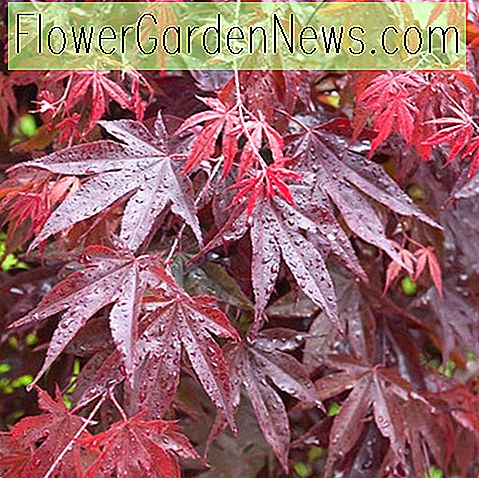 Acer palmatum 'Bloodgood' (japansk Maple)