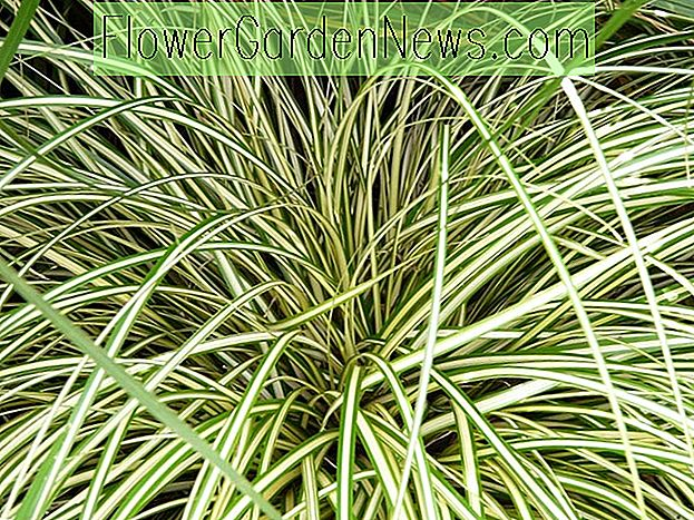 Carex Oshimensis 'Evergold', Sedge 'Evergold', Carex hachijoensis 'Evergold', Carex morrowii 'Evergold', Carex oshimensis 'Everbrite', Carex oshimensis 'Honeybird', Carex 'Evergold', Ziergräser,