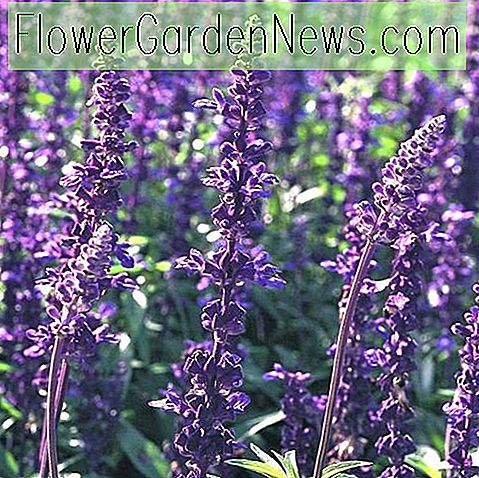Salvia farinacea 'Evolution' (Mealy Cup Sage)