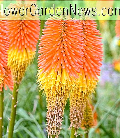 Kniphofia 'Nobilis' (Red Hot Poker)