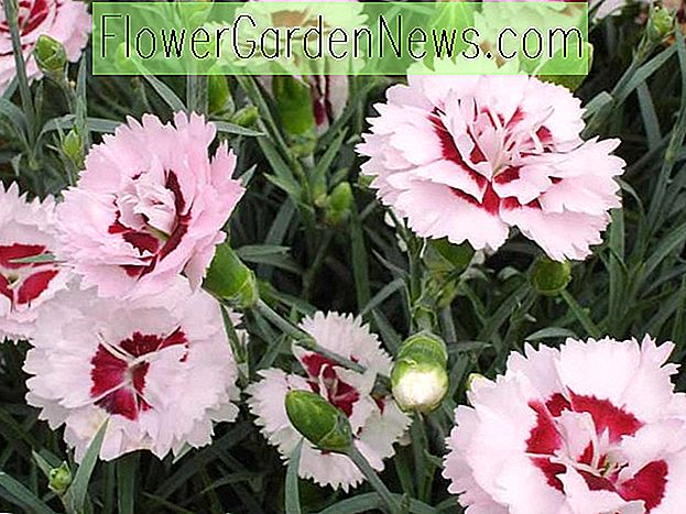 Dianthus 'Raspberry Surprise' (Pink)