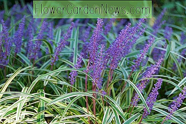 Liriope Muscari, LilyTurf, Blue Lily Turf, Monkey Grass, AGM Perennial, Purple flowers, Evergreen perennial