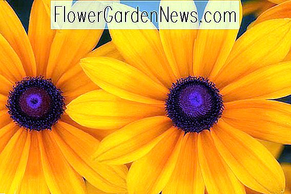 Rudbeckia hirta 'Indian Summer' (Black Eyed Susan)