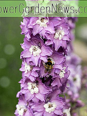 Delphinium 'Magic Fountain Lavender' (Larkspur)