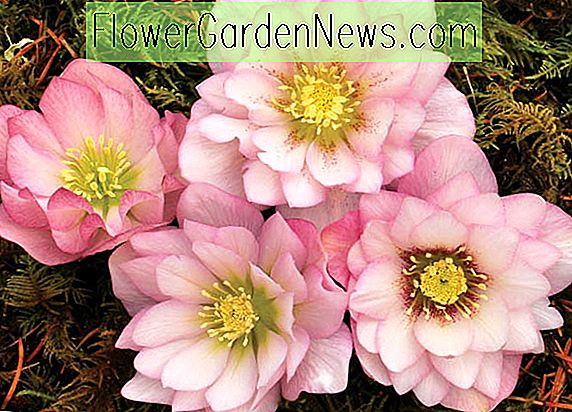 Helleborus Winterjuwelen 'Cotton Candy', Nieswurz 'Cotton Candy', Lenten Rose 'Zuckerwatte', Helleborus x hybridus 'Zuckerwatte', Helleborus Winter Serie, rosa Nieswurz, Doppel Nieswurz