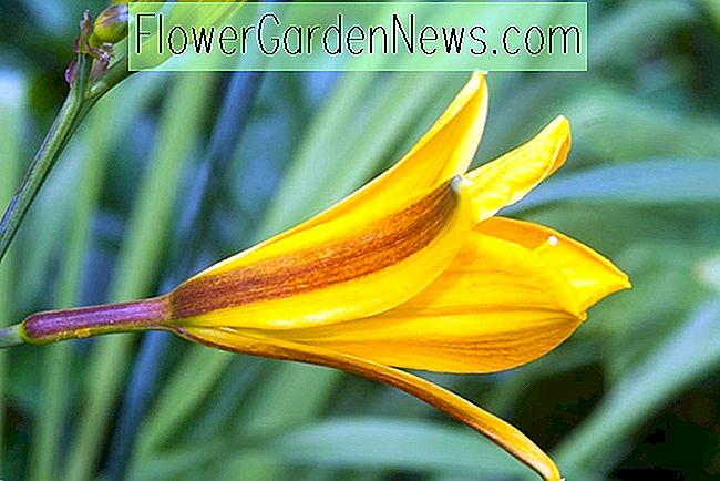 Hemerocallis 'Golden Chimes' (Daylily)
