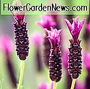 Lavandula Stoechas 'Regal Splendor', Fransk Lavendel 'Regal Splendor', Spansk Lavendel 'Regal Splendor', Butterfly Lavendel 'Regal Splendor', Lilla Lavenders, Tørketolerant plante, Sommerblomster, Hjortbestandige planter