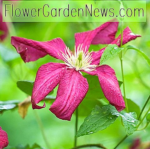 Clematis 'Madame Julia Correvon' (Viticella Group)