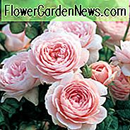 Rose Queen of Sweden, Rosa Queen of Sweden, Engels Rose Queen of Sweden, David Austin Roses, English Roses, English Rose, Shrub roses, Rose Bushes, Garden Roses, pink roses
