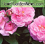 Rose The Mayflower, Rosa The Mayflower, English Rose The Mayflower, David Austin Roses, English Roses, Rose Bushes, zeer geurige rozen, Garden Roses, Pink Roses