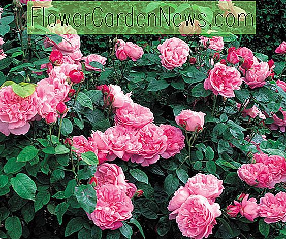 Beste David Austin Roses, David Austin Roses voor Hedges, Great Roses, Top Roses, Beste rozen voor heggen, Rose hedges, Flowering Hedges, Hedge Roses