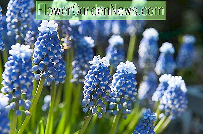 Muscari aucheri 'Mount Hood' (Grape Hyacinth)